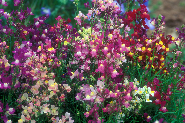 Linaria maroccana 'Fairy Bouquet' mixture of pink, red, white, purple, white colored toadflax. Heirloom variety: 1934 All-America Selections winner. Colorful annuals with little flowers, great planted en mass.