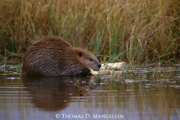 An American beaver gnaws on a stick in Denali National Park, Alaska.