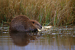 An American beaver gnaws on a stick in Denali National Park, Alaska.