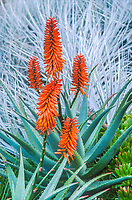 Aloe arborescens, orange flowering Torch or Candelabra Aloe in San Francisco Botanical Garden
