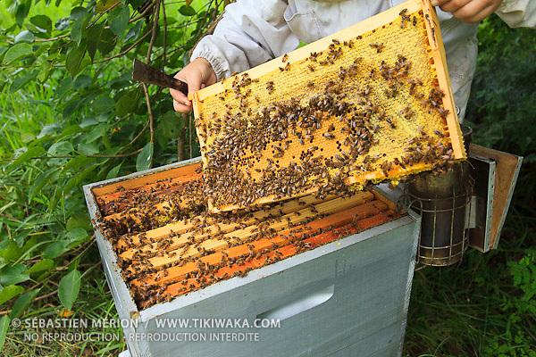 Christelle Appaganou (apicultrice à Bourail) retirant un cadre de la ruche