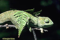 CH25-032z  African Chameleon - color change due to temperature difference, under leaf skin is cooler -   Chameleo senegalensis