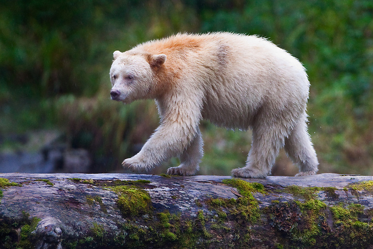 "Kermode ""Spirit"" Bear walking across a moss covered log"