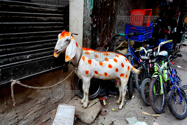 A goat painted in orange stands tied up next to children's bicycles at the Geneva refugee camp in Dhaka. The Geneva refugee camp in Dhaka is one of the largest settlements housing thousands of stranded Biharis in Bangladesh. It is the largest ghetto-like settlement for the Urdu speaking minority in the Bengali speaking nation of Bangladesh.