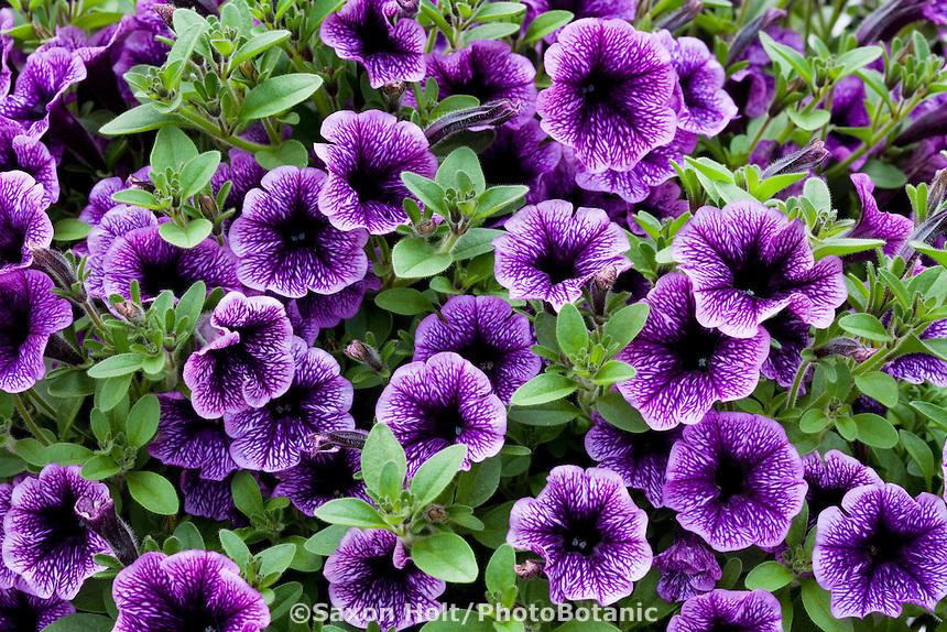 Blue annual flower - Petunia - Littletunia Blue Vein