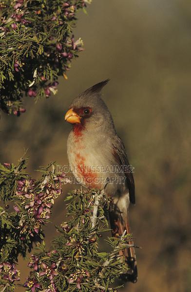 Pyrrhuloxia (Cardinalis sinuatus), male on blooming Guayacan (Guaiacum angustifolium), Starr County, Rio Grande Valley, Texas, USA