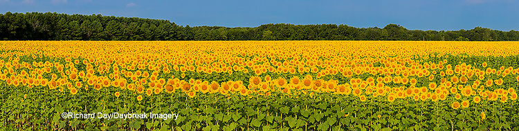 63801-06912 Sunflower field Sam Parr State Park Jasper County, IL