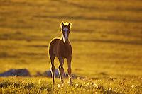 Wild horse colt stands backlit by evening sun in mountain meadow.  Western U.S., summer..(Equus caballus)