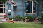Whitetail fawn triplets on a lawn in a Missoula, Montana neighborhood. The yellow lab watches.