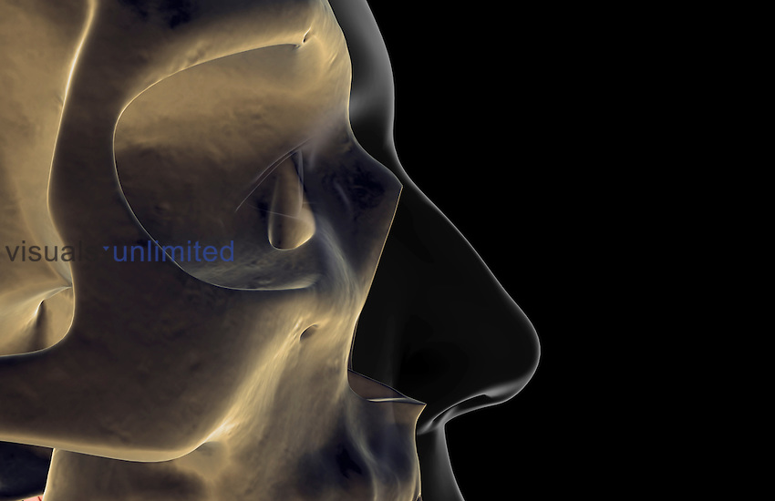 A lateral view (right side) of the bones of the face. The surface anatomy of the body is semi-transparent. Royalty Free