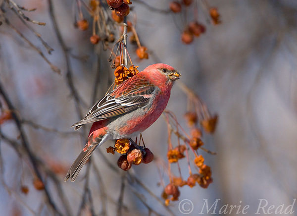 Pine Grosbeak (Pinicola enucleator), male feeding on crabapple fruits in winter, Baldwinsville, New York, USA