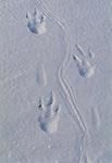Emperor penguin foot prints, Antarctica