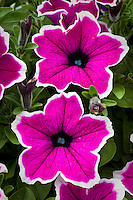 Purple  annual flower, Petunia Ray Rim Purple, how to crop (after), use negative space