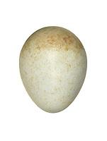 Stonechat - Saxicola torquata