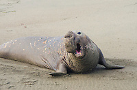 Northern Elephant Seal (Mirounga angustirostris) bull bellowing--dominance behavior--trying to scare other bulls off his share of beach. CA.  March.
