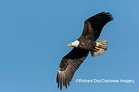 00807-03704 Bald Eagle (Haliaeetus lecocephalus) in flight Clinton Co. IL