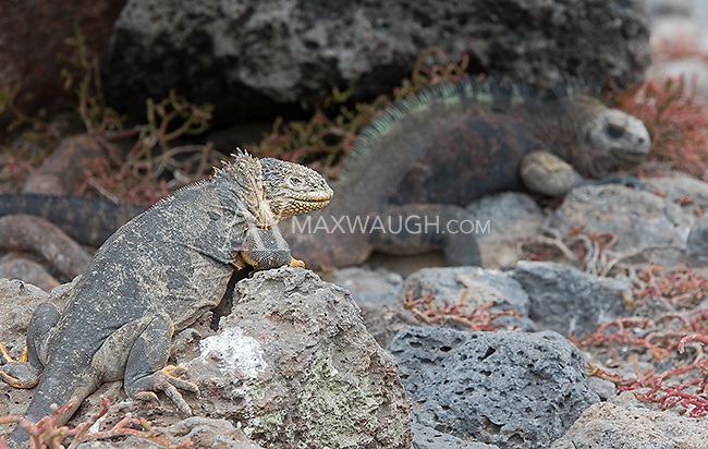 Here one can see the land iguana and marine iguana next to each other.