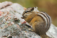 Least Chipmunk, Tamias minimus, adult eating, Grand Teton NP,Wyoming, September 2005