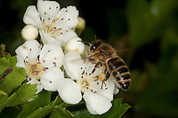 Honigbiene, Honig-Biene, Biene, Apis mellifera, Apis mellifica, Blütenbesuch auf Weißdorn, Nektarsuche, Blütenbestäubung, Pollenhöschen, honey bee, hive bee