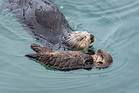 Sea Otter (Enhydra lutris) mom with young pup resting in sheltered bay on Prince William Sound, Alaska.  Spring.   Pup is sleeping while mom feeds.  Mom dives to the bottom searching for food--often gone 2 to 4 minutes--then returns to the surface to eat.  Before she dives again   she usually comes over and touches/checks on her sleeping young one.