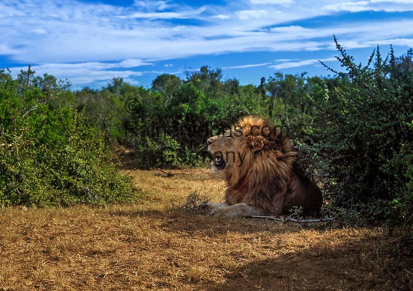 Suedafrika, Garden Route, Addo Elephant National Park: schattiges Plaetzchen fuer einen Loewen | South Africa, Garden Route, Addo Elephant National Park: lion