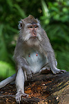 Long Tailed Macaque in the monkey forest, Ubud, Bali