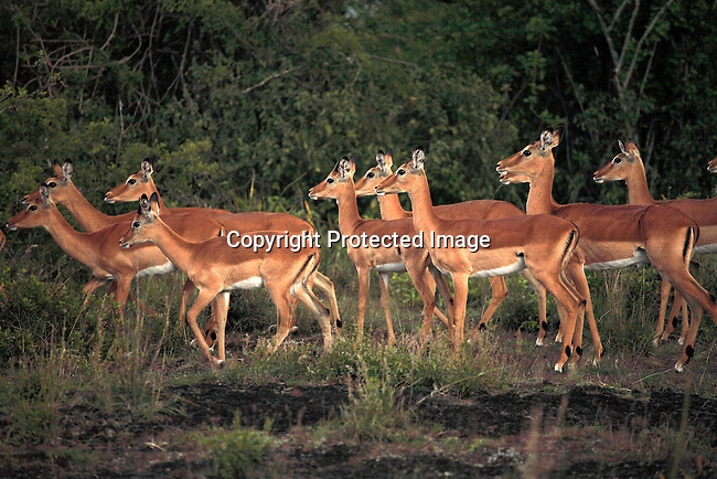 Impalas on Soysambu farm in Kenya. Photo; Per-Anders Pettersson/ Getty Images