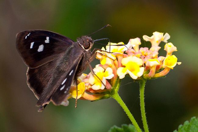 Hammock Skipper Butterfly, Plantation Hammocks Nature Preserve