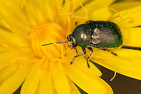 Fallkäfer beim Blütenbesuch, Blattkäfer, Cryptocephalus spec., Chrysomelidae, leaf beetles