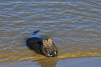 Sea Otter (Enhydra lutris) on sandy beach--while sea otters are primarily a water species, they do occasionally get out on shore for a brief time.  California.