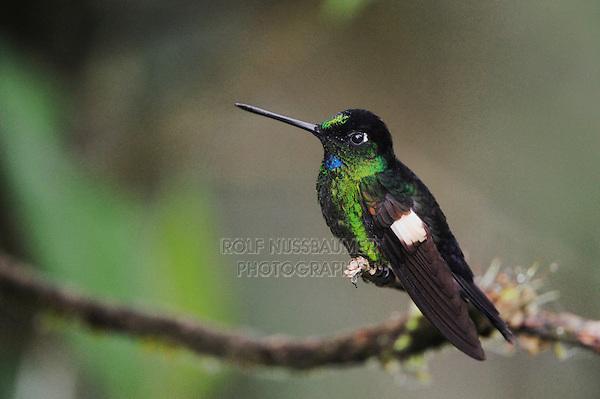 Buff-Winged Starfrontlet (Coeligena lutetiae), male perched, Yanacocha, Quito, Ecuador, Andes, South America