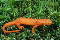 SL04-033a  Red -Spotted Newt - eft stage (land form) - Notophthalmus viridescens