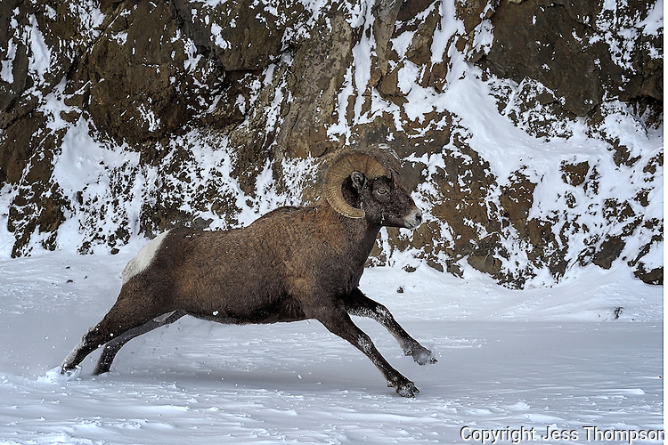 Bighorn Ram running in snow, Cody, Wyoming