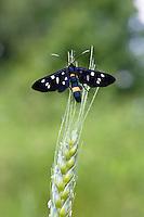 Weißfleckwidderchen, Syntomis phegea, Amata phegea, Ost-Slowakei / Nine-spotted Moth, Syntomis phegea, Amata phegea, East Slovakia