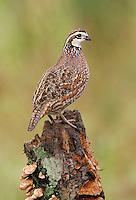 Northern Bobwhite - Colinus virginianus - male