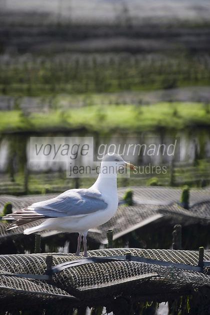 Europe/France/Bretagne/35/Ille et Vilaine/ Cancale :les Parcs à Huitres - Huitres de Cancale