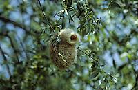 Beutelmeise, Nest, Vogelnest, Beutelnest, Beutel-Meise, Remiz pendulinus, penduline tit