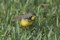 Canada Warbler, Wilsonia canadensis, male, South Padre Island, Texas, USA, May 2005