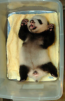 The smallest panda to survive known as Wu Shi Er Ke (which means 51 grams in Chinese) at one month and 20 days old rests in a plastic box. Wu Shi Er Ke now weights just over 200 grams. The panda was born at the Chengdu Giant Panda Breeding and Research Institute in Sichuan Province, China. The Institute had a record of ten surviving births this year. Wu Shi Er Ke was born August the 6th as a twin. Her sister weighted over double her weight and her mother called Qi Zheng was herself the first panda baby to survive an operation. (She had 7 stitches in her stomach after her mother rejected and attacked her juist after birth 7 years ago)..26 Sep 2006
