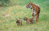Sumatran tiger, Panthera tigris sumatrae, mother and cubs, critically endangered species, Sumatra, Sunda Islands, Indonesia