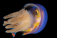 Jack or trevally, Family Carangidae, juvenile, hiding in Jellyfish, Thysanostoma thysanura, for protection, Anilao, Philippines, Pacific Ocean
