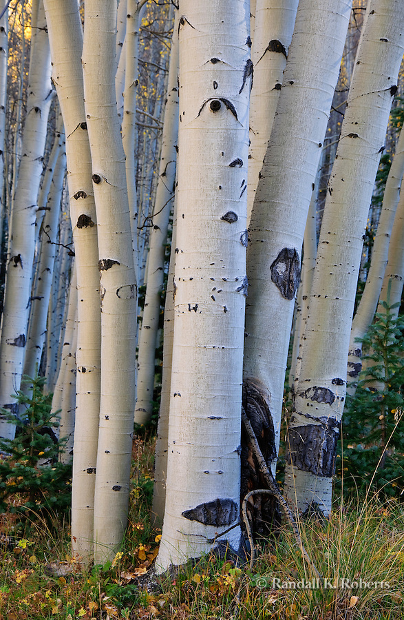 Aspen boles, autumn, Red Mountain Pass, San Juan National Forest,  south of Ouray, Colorado