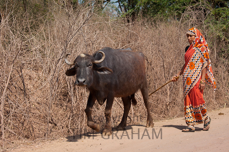 Indian woman leads male buffalo at farm smallholding at Kutalpura Village in Rajasthan, Northern India RESERVED USE - NOT FOR DOWNLOAD -  FOR USE CONTACT TIM GRAHAM