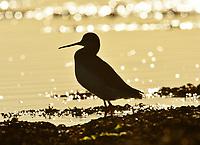 Spotted Redshank - Tringa erythropus