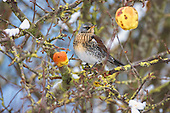 Fieldfare (Turdus pilaris) feeding on an apple (Malus). Unusually for a thrush, they often nest in small colonies, possibly for protection from predation.