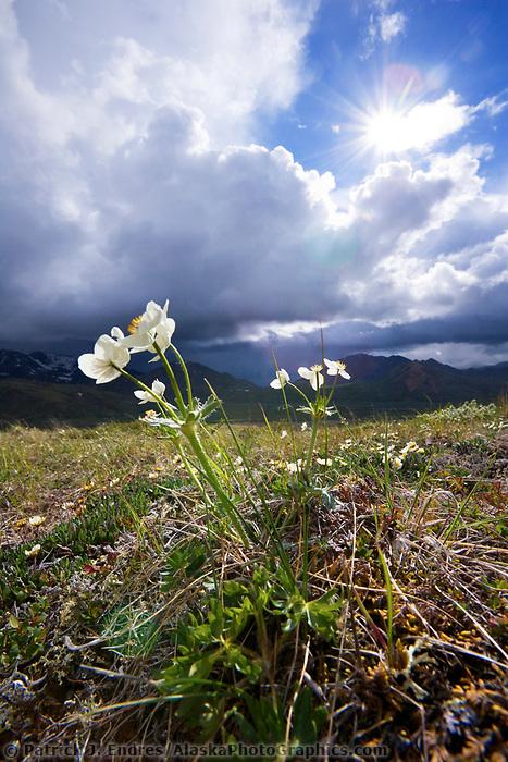 Narcissus flowered anemone, Highway Pass, Denali National Park, Alaska