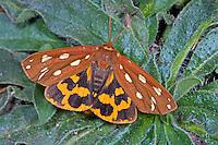Hofdame, Hyphoraia aulica, Brown Tiger Moth, Bärenspinner, Arctiinae