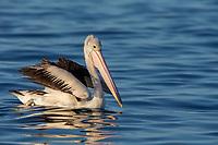 Australian Pelican (Pelecanus conspicillatus), non-breeding plumage swimming off Kangaroo Island, South Australia, Australia.