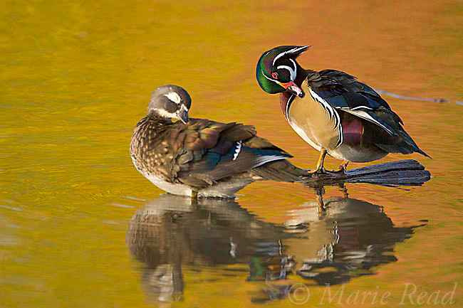 Wood Ducks (Aix sponsa), pair preening, fall color reflection in water, Ohio, USA
