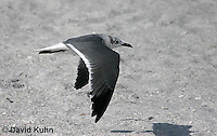 0104-1003  Immature Flying Franklin's Gull, Larus pipixcan  © David Kuhn/Dwight Kuhn Photography